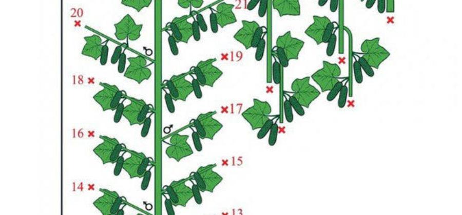 Как сформировать куст огурца в теплице – Способы формировки огурцов