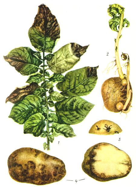 Признаки фитофтороза на картофеле