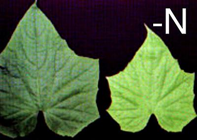 Признаки нехватки азота у огурцов