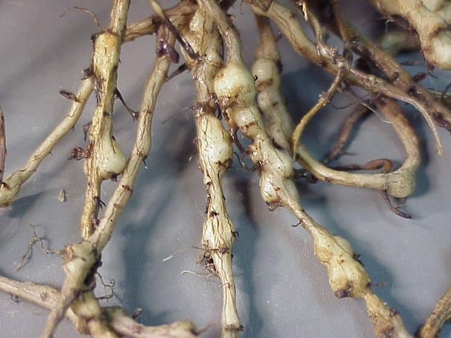 Признаки нематоды на корнях огурцов