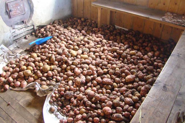 Просушивание картофеля после сбора