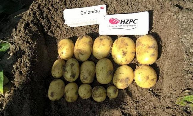 Сбор и хранение урожая картофеля Коломба