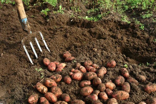 Сроки созревания картофеля Ред Леди