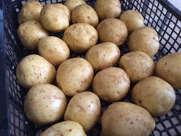Урожай картофеля Коломбо