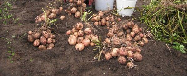 Урожайность картофеля Аврора