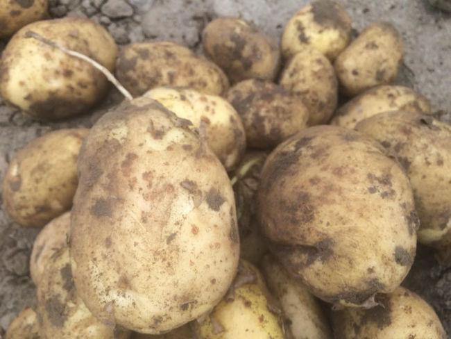 Урожайность картофеля Бриз