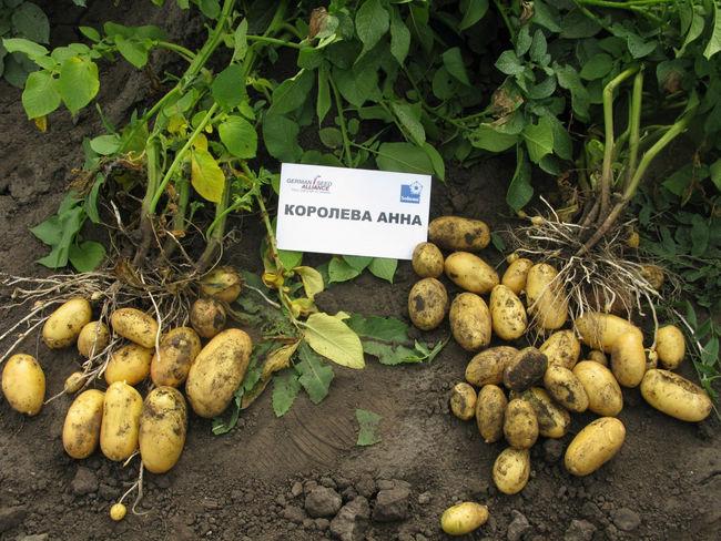 Урожайность картофеля Королева Анна
