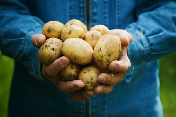 Внешний вид картофеля Коломбо