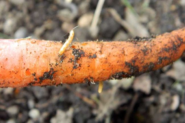 Вредитель моркови проволочник