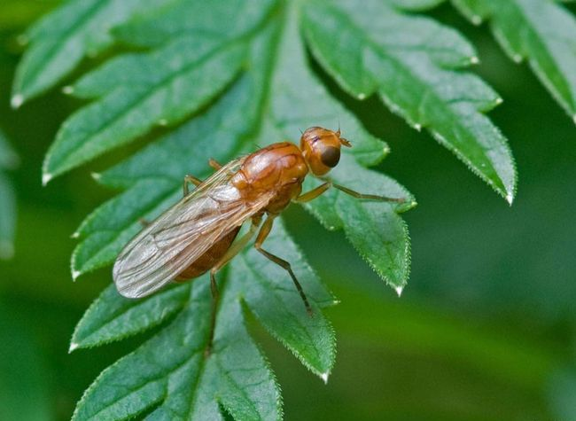 Вредители моркови - Морковная муха