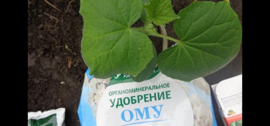 Чем подкормить огурцы для хорошего урожая