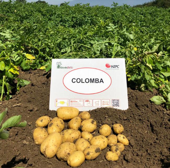 описание сорта картофеля Коломбо