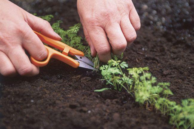 прореживание моркови