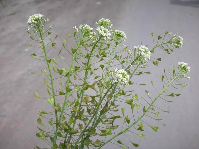 растение пастушья сумка