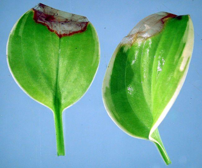 Ботритис на листьях хосты