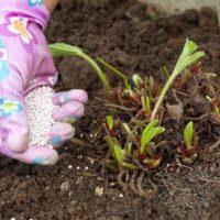 Осенняя подкормка клубники – Чем удобрить клубнику перед зимой