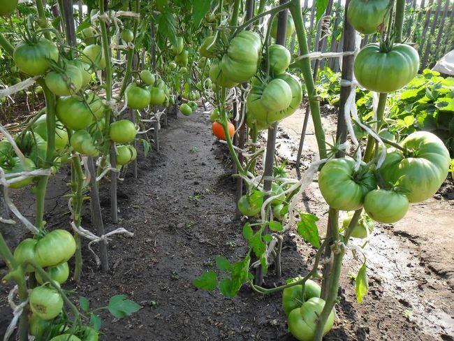 Для каких регионов подходит томат Тяжеловес Сибири