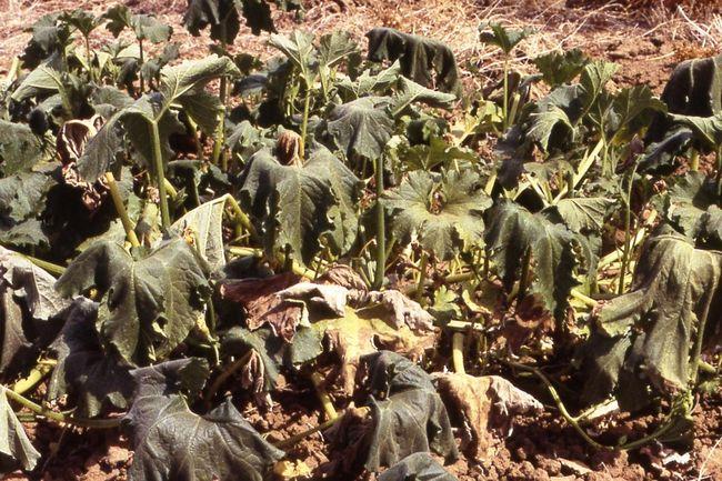 Фузариозная гниль на кустах кабачков