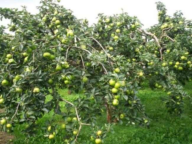 Характеристика яблони Чудной