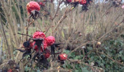 Как убрать шиповник с участка – Способы борьбы с сорняком