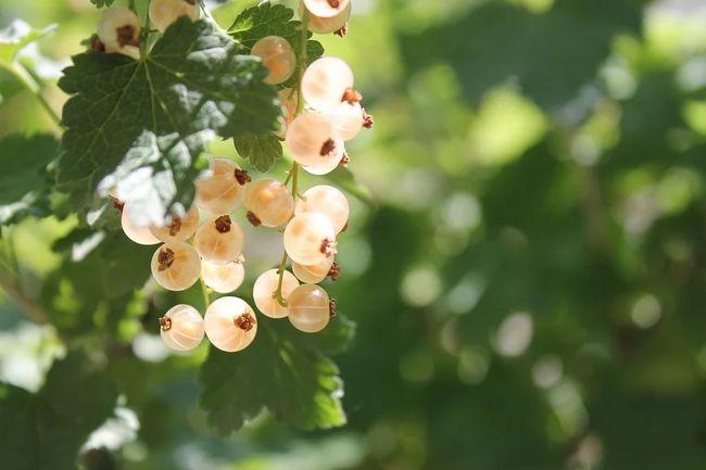Как пересаживать белую смородину на новое место
