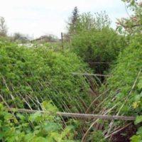 Какой способ подвязки малины выбрать и как подвязать кустарник
