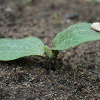 Посадка кабачков на грядку семенами