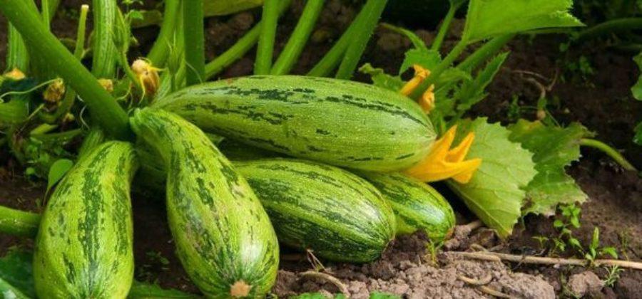 Выращивание кабачков на открытых грядках