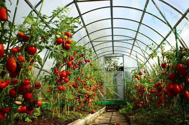 Какое проветривание наиболее предпочтительное для томатов