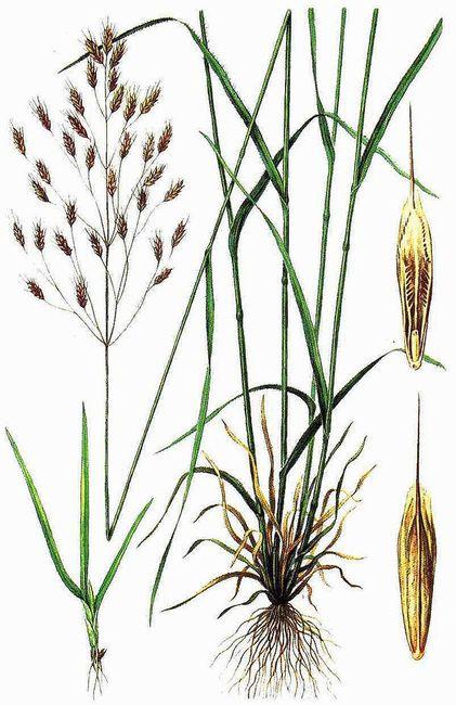 Костер полевой сорняк