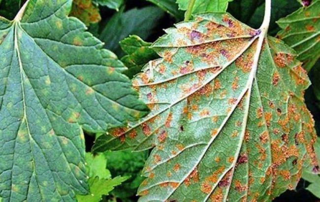 Листья пораженные ржавчиной