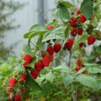 Сорт ремонтантной малины Жар-птица: характеристика и отзывы садоводов