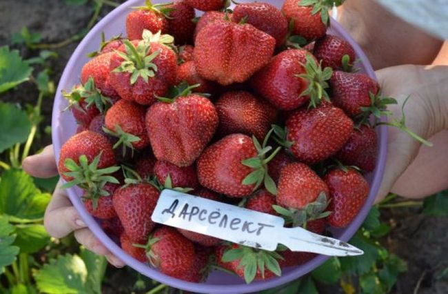 Описание ягод земляники сорта Дарселект