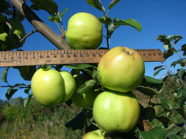 Плоды сорта яблони Чудное