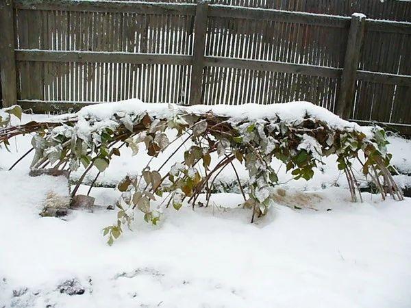 Подвязка малины на зиму