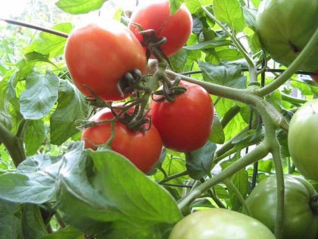 Посадка томатов в грунт и уход за ними