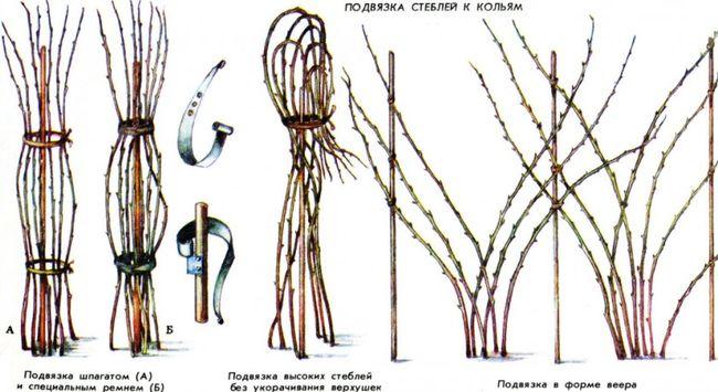 Пучковой или коловый вариант подвязывания малины
