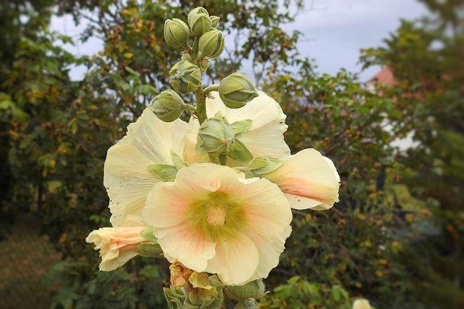 Шток-роза или Мальва
