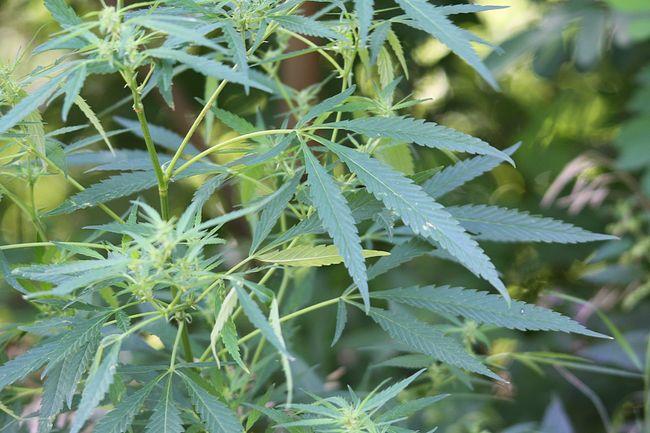 Сорняк в саду - Конопля сорная