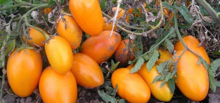 За что выбирают томат Золотой Кенигсберг садоводы и как вырастить его на своем участке