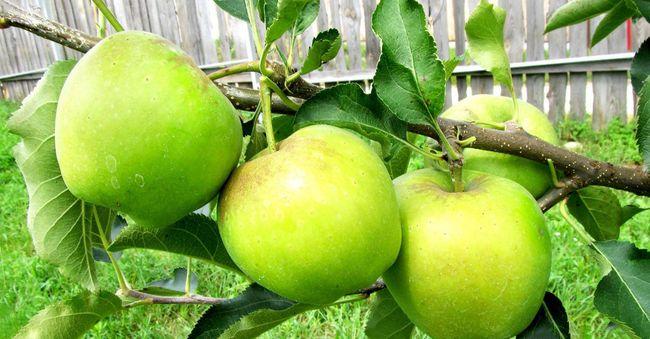 Урожайность яблони сорта Чудное