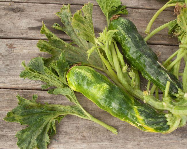 Влияние болезни огуречная мозаика на растение и плод кабачка