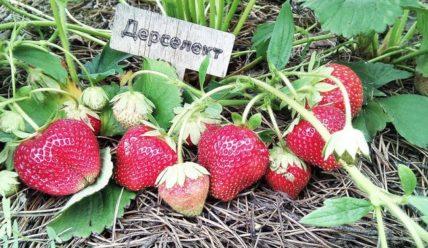 Земляника Дарселект: описание сорта, фото, отзывы садоводов