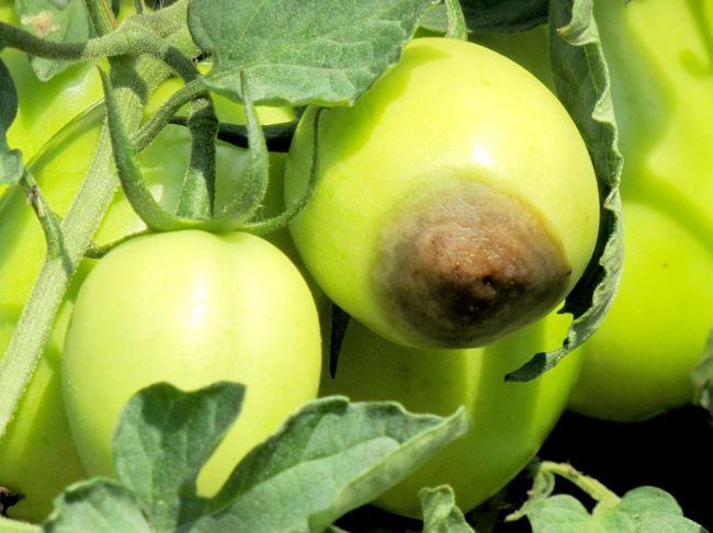 вершинная гниль томатов кенигсберг