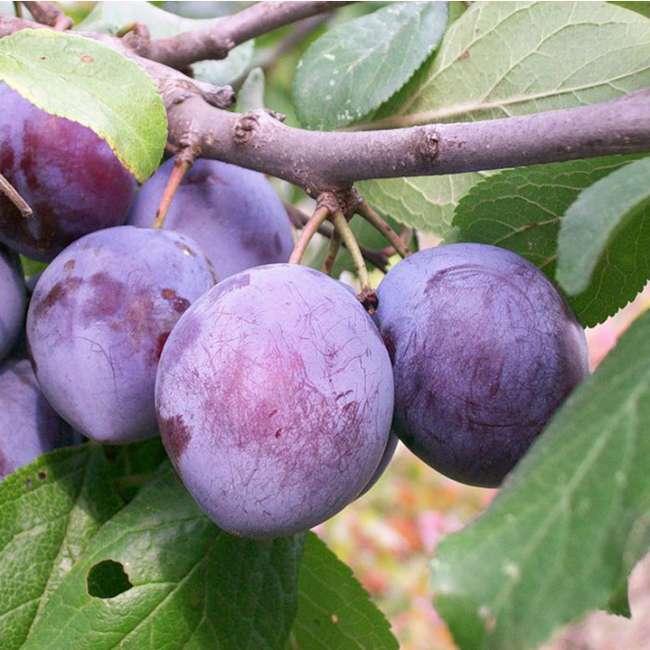 Плоды сорта слив Ренклод Карбышева