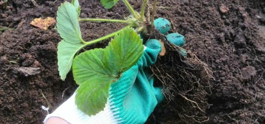 Способы размножения земляники садовой