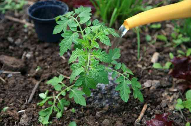 Удобрение помидор нитроаммофоской