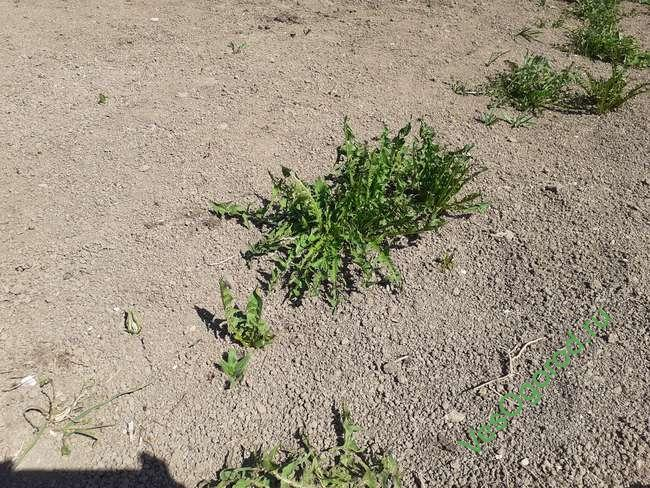 Виды сорняков на садовом участке: фото и описания сорной травы