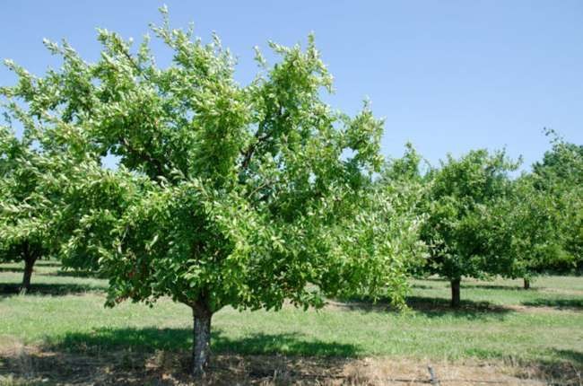 Высота дерева Слива желтая Медовая
