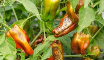 Болезни перца на листьях и плодах